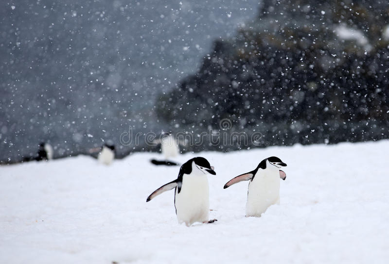 Chinstrap Penguins. Trekking through storm in Antarctica royalty free stock images