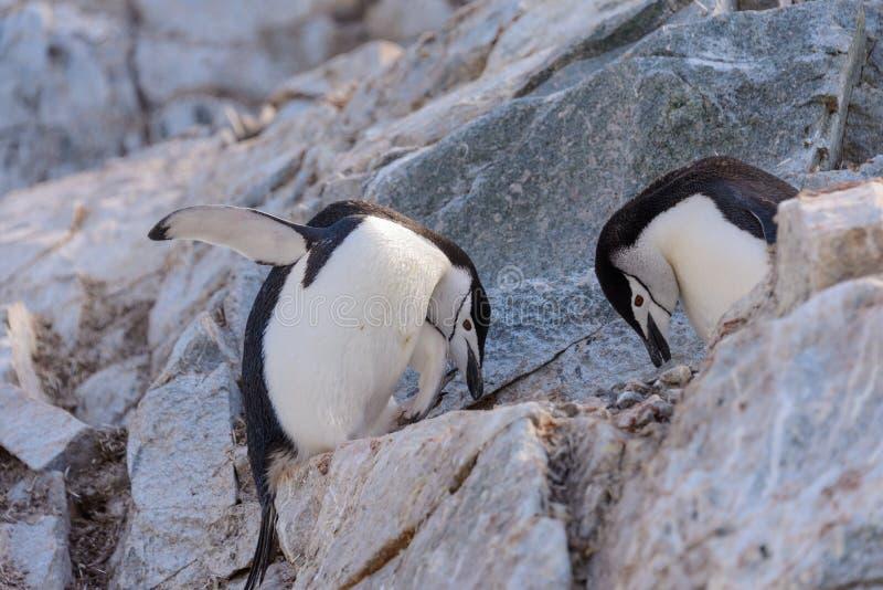 Chinstrap-Pinguin auf dem Schnee in der Antarktis lizenzfreies stockfoto