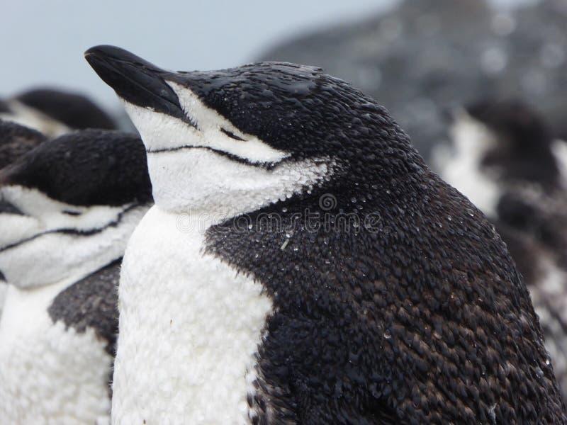 Chinstrap-Pinguin auf Halbmond-Insel in der Antarktis lizenzfreie stockfotografie