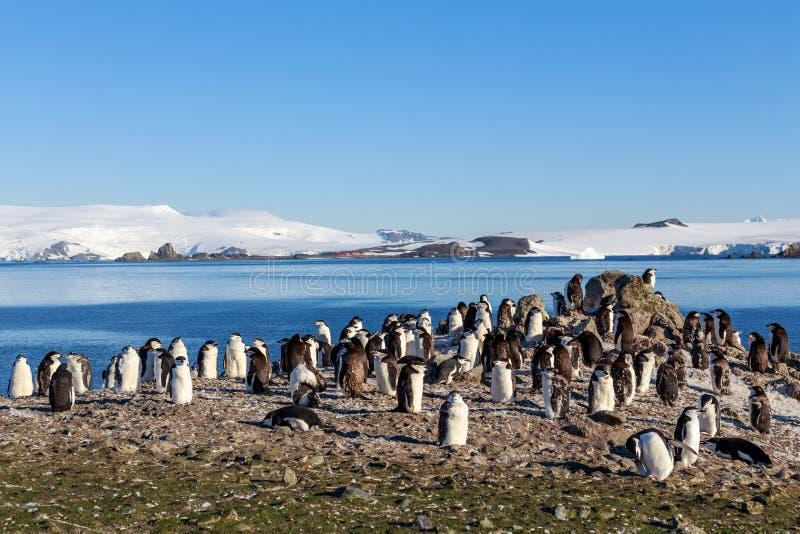 Chinstrap-Pinguin-Kolonienmitglieder traten auf den Felsen, Shetlan zusammen stockfotos