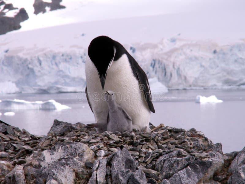 Chinstrap Pinguin mit Küken stockfotos
