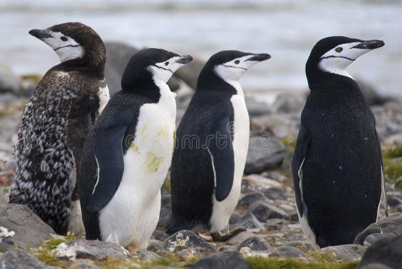 Chinstrap Pinguine. lizenzfreies stockbild