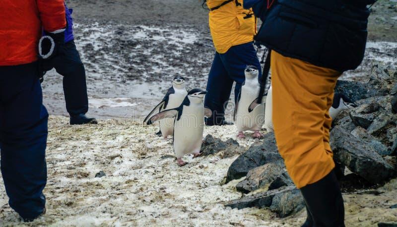 Chinstrap-Pinguine auf Halbmond-Insel in der Antarktis lizenzfreies stockfoto