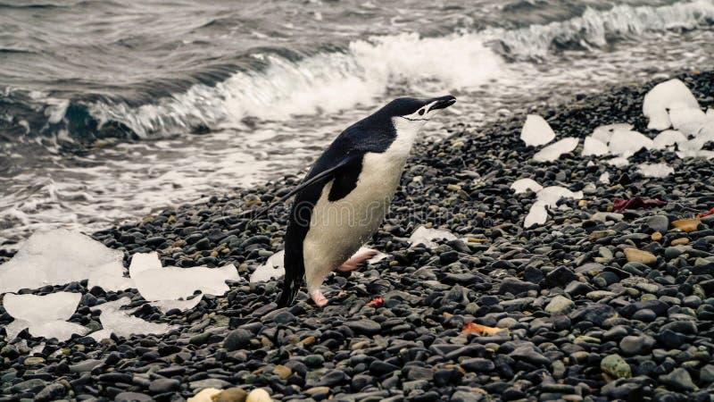 Chinstrap-Pinguine auf Halbmond-Insel in der Antarktis stockfoto