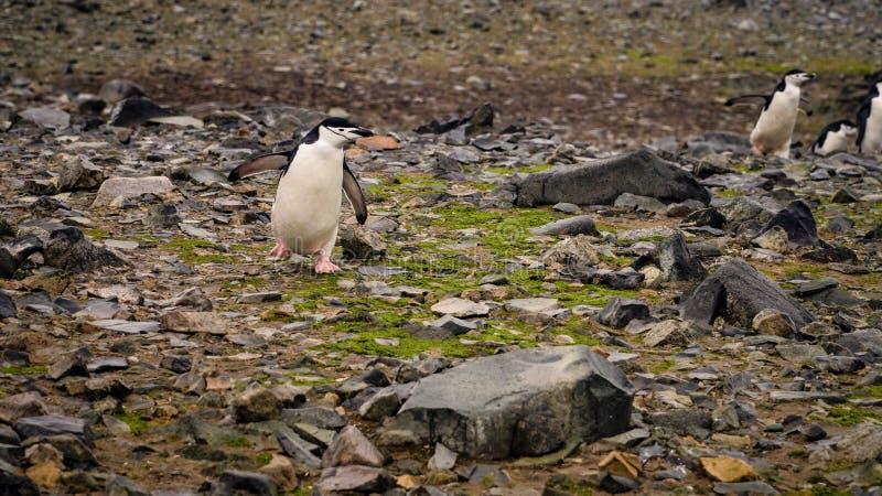 Chinstrap-Pinguine auf Halbmond-Insel in der Antarktis stockbild