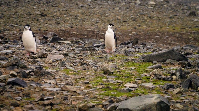 Chinstrap-Pinguine auf Halbmond-Insel in der Antarktis lizenzfreies stockbild