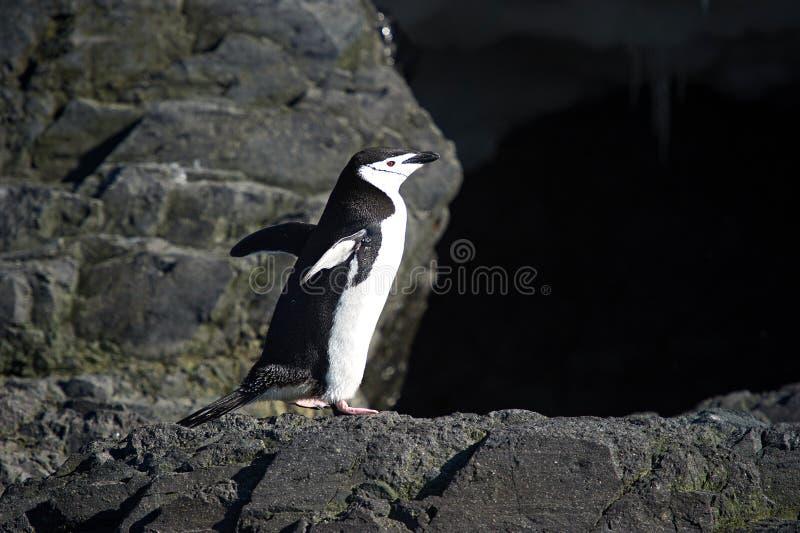 Chinstrap-Pinguine in der antarktischen Halbinsel lizenzfreie stockbilder