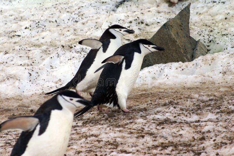 Chinstrap-Pinguine, die auf Schnee in der Antarktis gehen lizenzfreies stockfoto