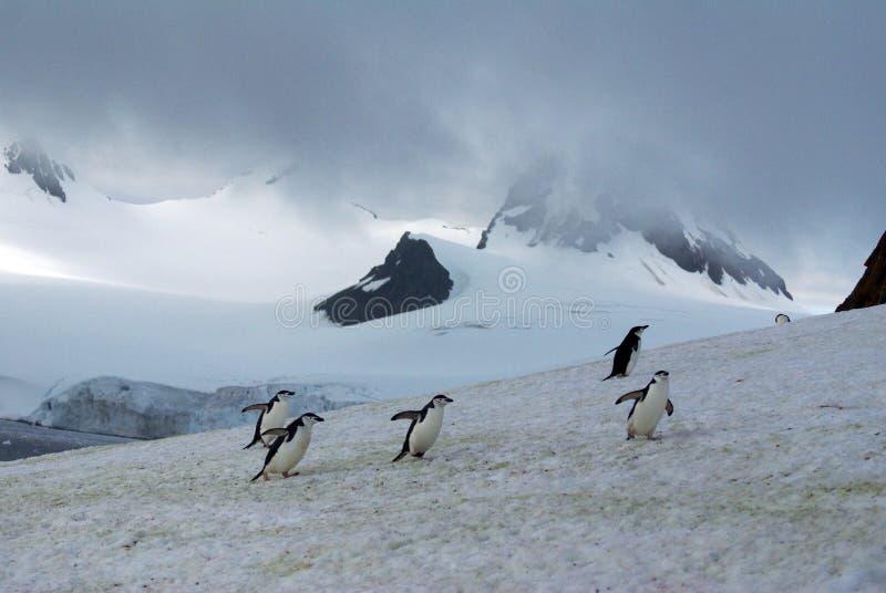 Chinstrap-Pinguine im Schnee stockbild