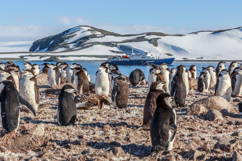Chinstrap-Pinguine scharen sich Stellung auf den Felsen und dem Kreuzschiff I stockfotografie
