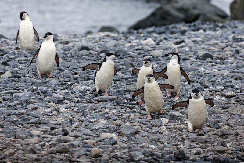 Chinstrap pinguins. Walking on the rocks - Antarctic Peninsula area royalty free stock photography