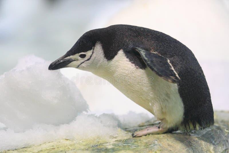 Chinstrap pingvin arkivfoto