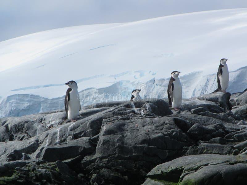 Chinstrap pingvin royaltyfria foton