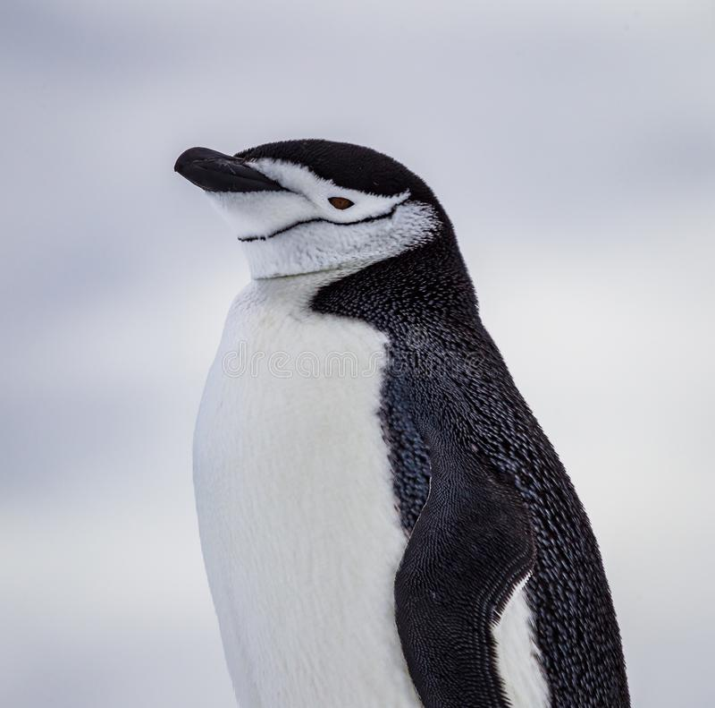 Chinstrap pingvin med tydlig hakateckning av Antarktis royaltyfria foton