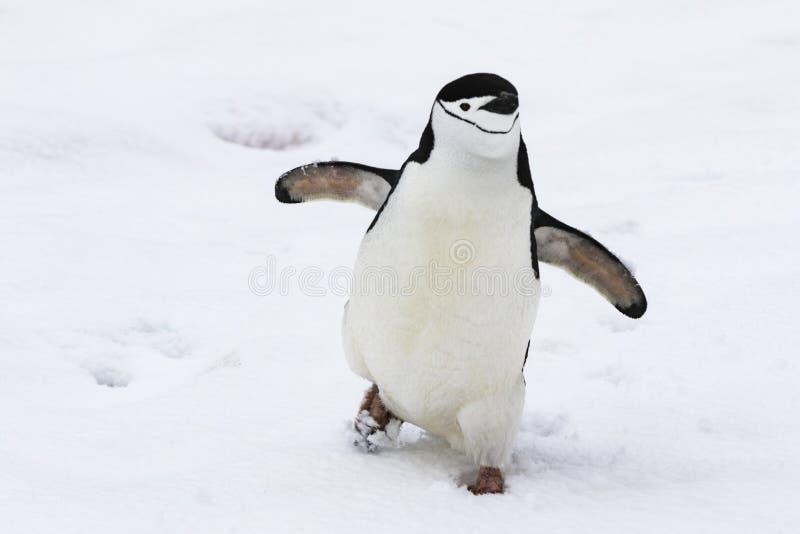 Chinstrap pingvin som går i snön arkivfoton