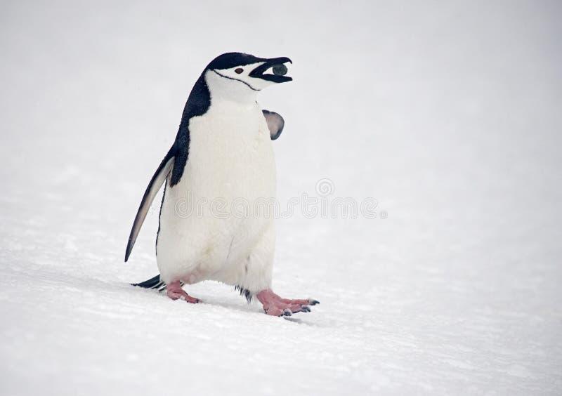 Chinstrap pingvin som marscherar, Anarctica royaltyfri fotografi