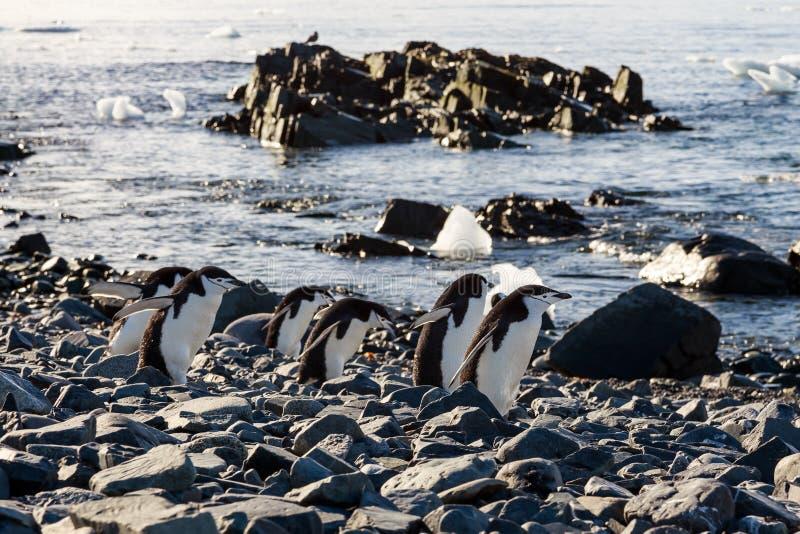 Chinstrap pingvinliga som skynda sig på deras affär på kusten royaltyfria bilder