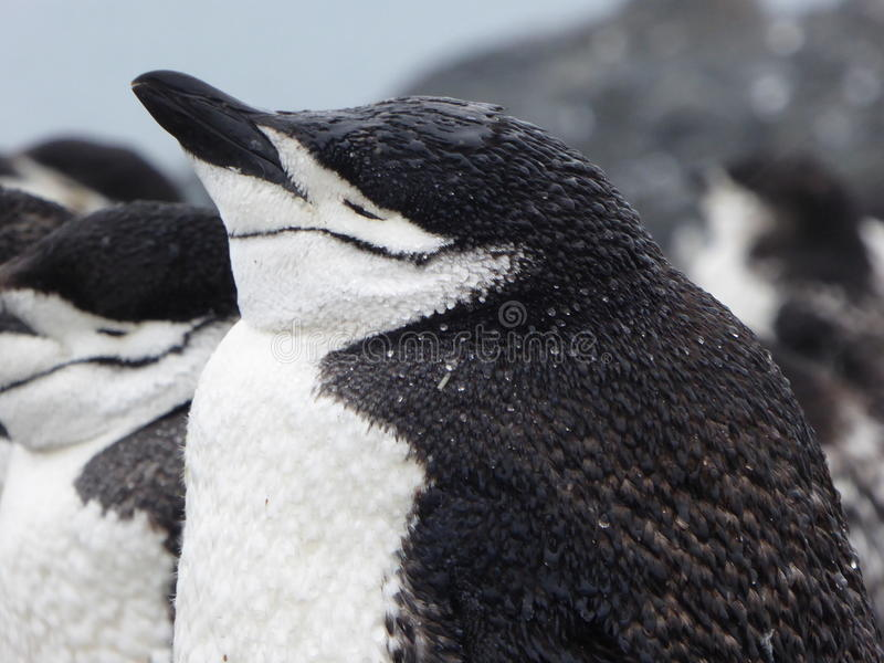 Chinstrap pingwin na Przyrodniej księżyc wyspie w Antarctica fotografia royalty free