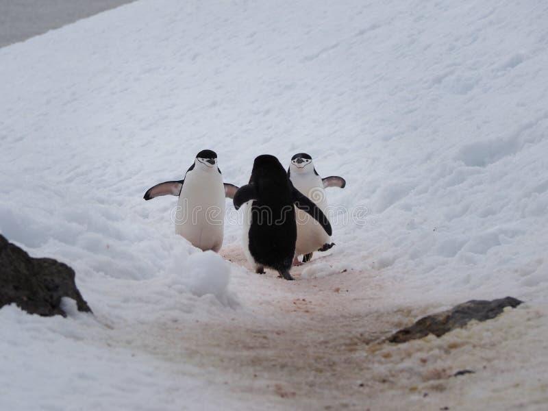 Chinstrappinguïnen op Halvemaaneiland in Antarctica stock afbeelding
