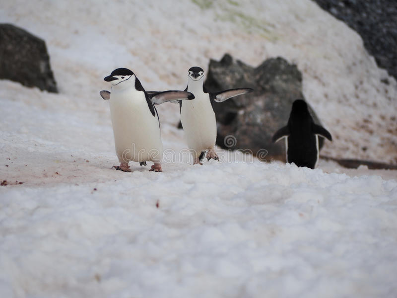 Chinstrappinguïnen op Halvemaaneiland in Antarctica stock foto's