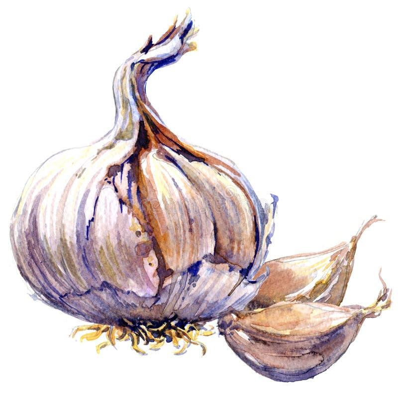 Chiodi di garofano di aglio freschi e lampadina organici isolati, illustrazione dell'acquerello su bianco illustrazione di stock