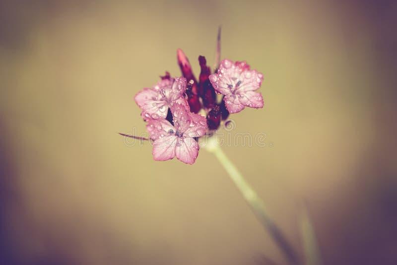Chiodi di garofano Carthusian - goccioline di acqua - Annata-sguardo fotografia stock libera da diritti