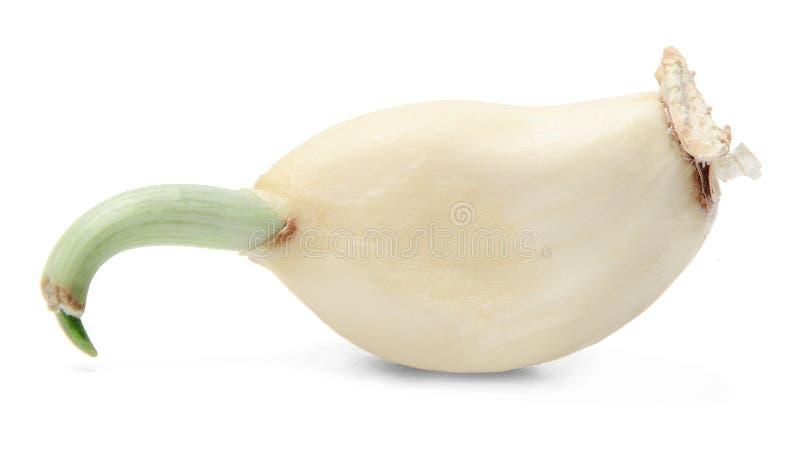 Chiodo di garofano di aglio con il germoglio fotografia stock