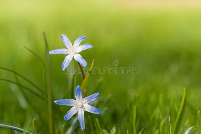 Chionodoxa (Gloria-de--neve) in primavera fotografia stock