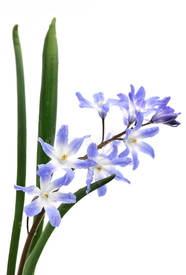 Free Chionodoxa, Glory Of The Snow Royalty Free Stock Images - 9037379