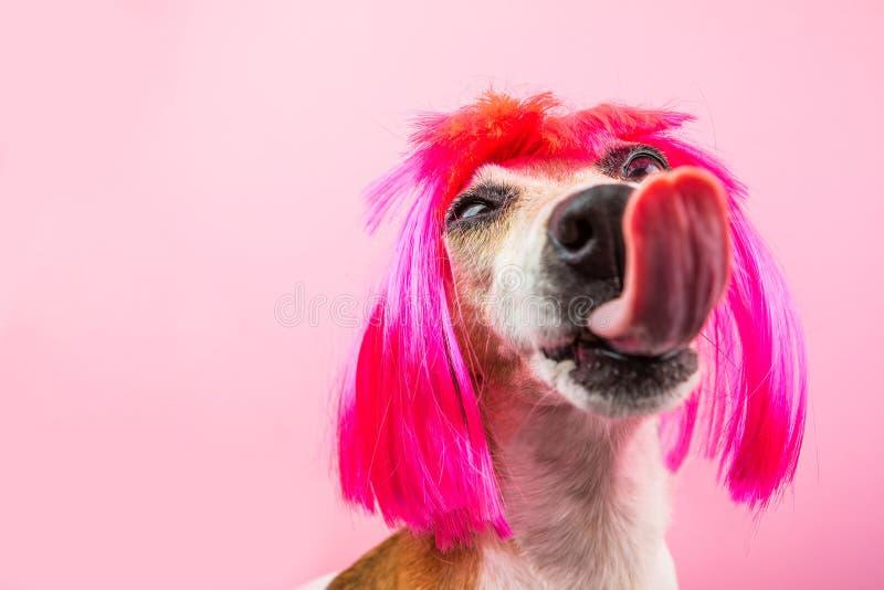 Chiot adorable de chien avec la longue langue énorme Style rosâtre portraits drôles ironiques d'un chien dans une perruque image stock
