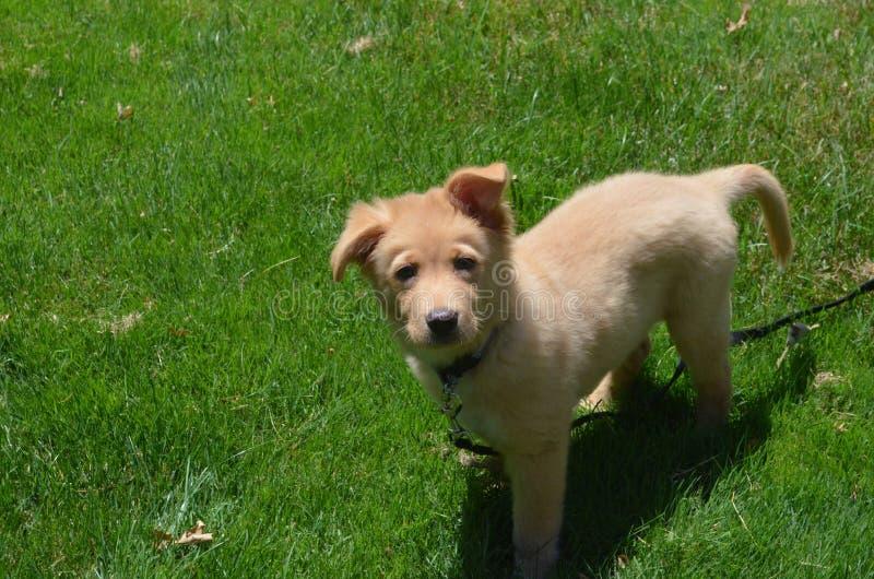 Chiot adorable de Toller sur une laisse dans l'herbe verte images stock