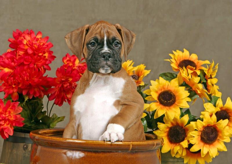 Chiot allemand de faon de boxeur se reposant dans le grand pot brun de planteur, parmi les fleurs jaunes et rouges, observant, image stock