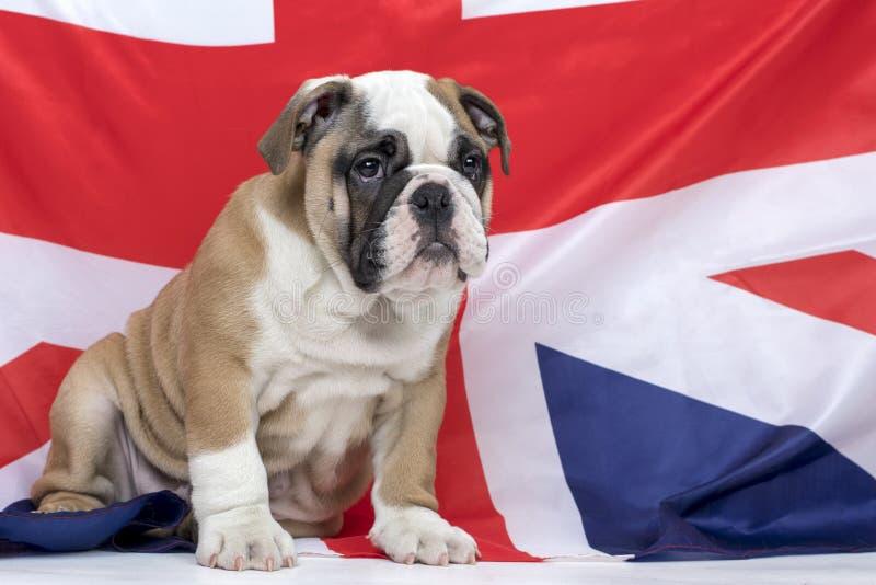 Chiot anglais de bouledogue avec le fond BRITANNIQUE de drapeau images libres de droits