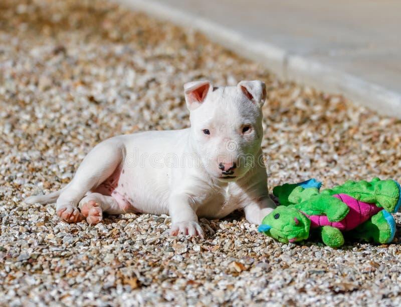 Chiot blanc de bull-terrier dans les roches avec un jouet photo stock