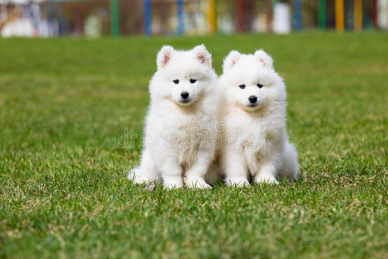Chiot blanc de Samoyed photo stock