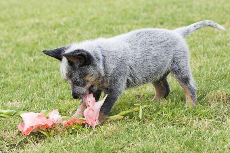 Chiot bleu de guérisseur jouant avec des fleurs image libre de droits
