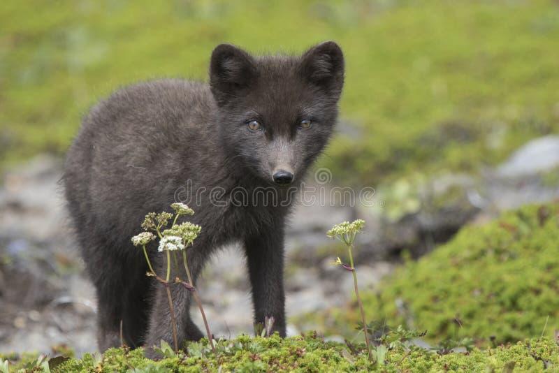 Chiot bleu de renard arctique de commandants se tenant dans le tund vert photos stock