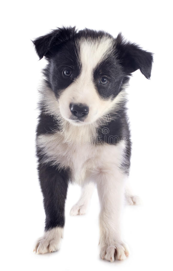 Chiot border collie photo stock