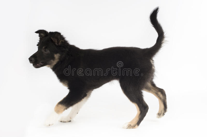 Chiot, border collie, fond blanc de studio photos libres de droits