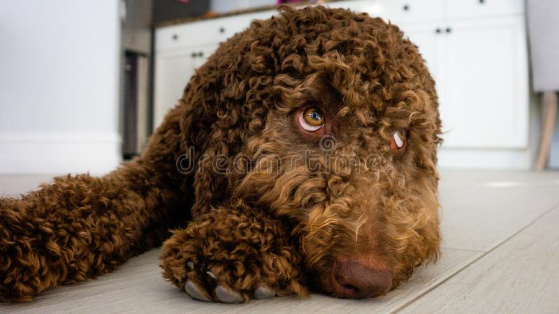 Chiot brun de labradoodle de chocolat photo stock