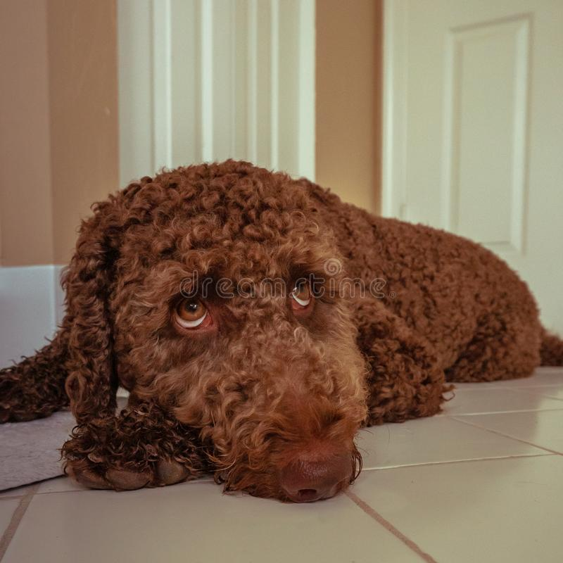 Chiot brun de labradoodle de chocolat photo libre de droits