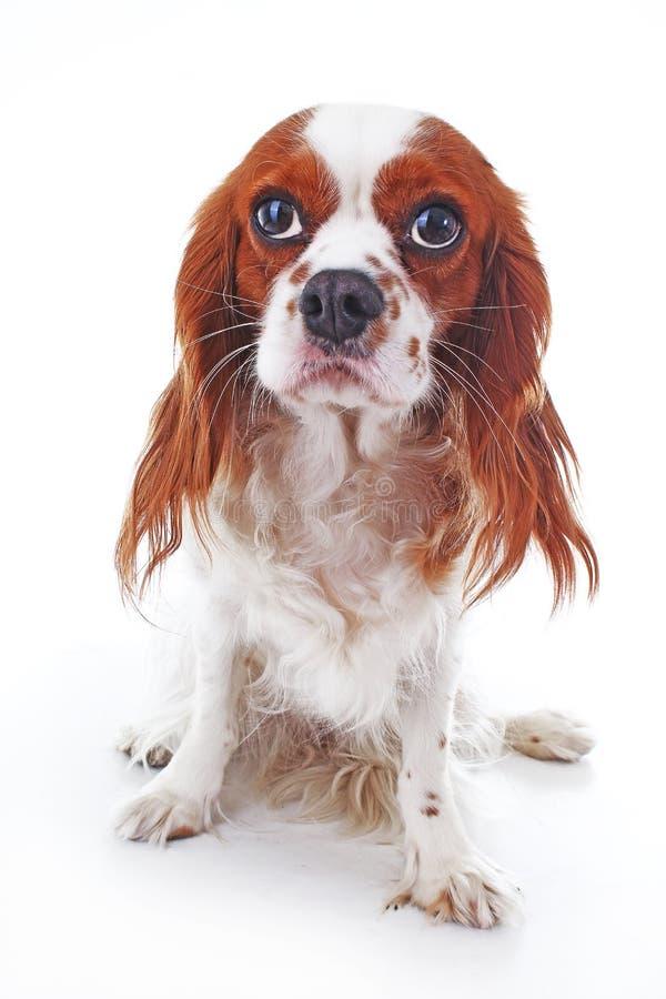 Chiot cavalier mignon d'épagneul de roi Charles sur le fond blanc d'isolement Chemin de coupure de chiot Photos de chien de Cuite photos stock