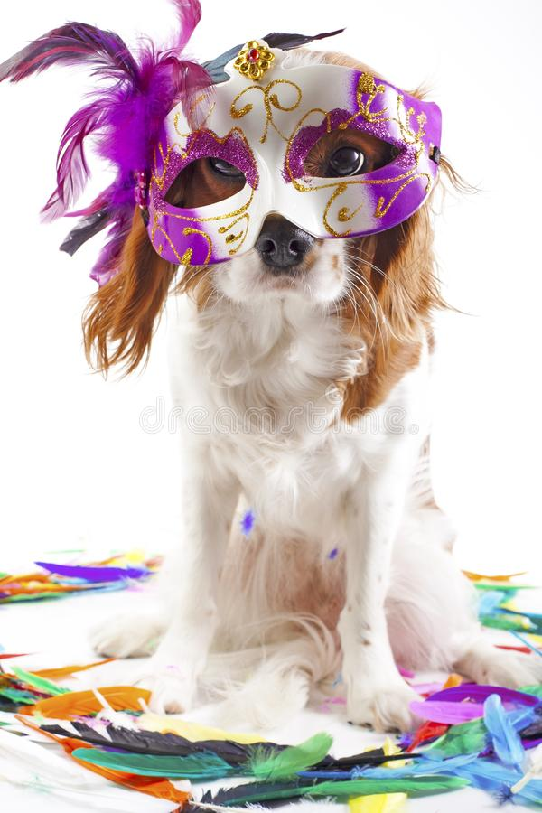 Chiot cavalier mignon de chien d'épagneul de roi Charles sur le fond blanc de studio Chiot de chien avec le masque de carnaval Ch images libres de droits