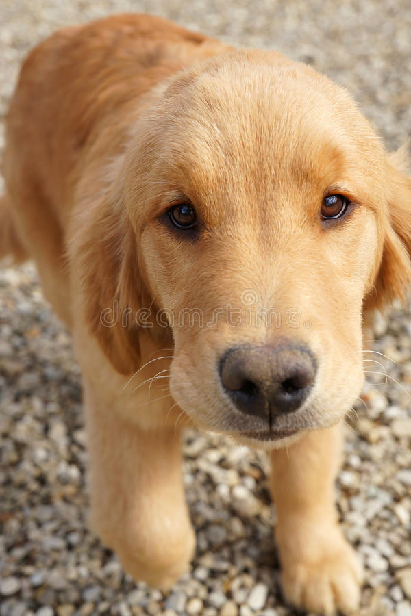Chiot curieux de golden retriever photo libre de droits