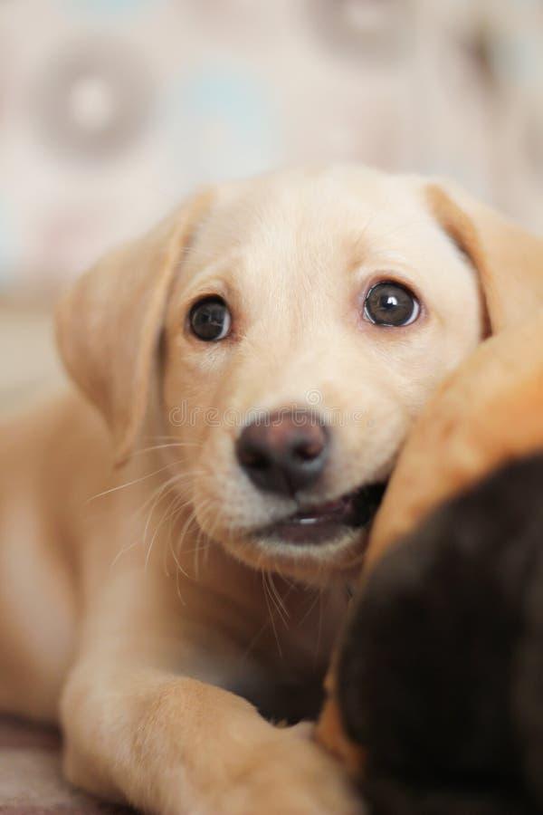 Chiot d'or de Labrador images libres de droits
