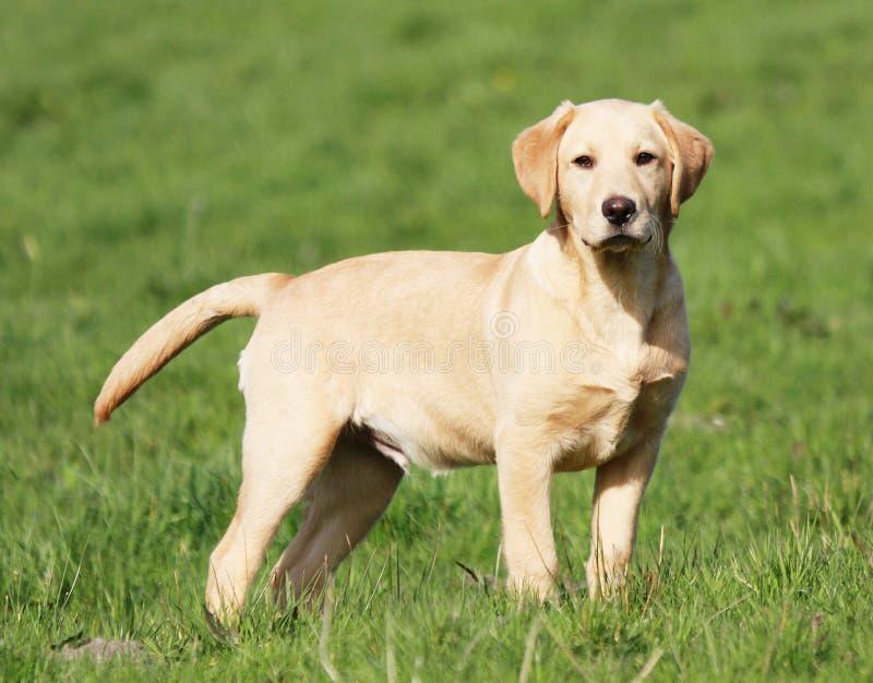 Chiot d'or de Labrador image libre de droits