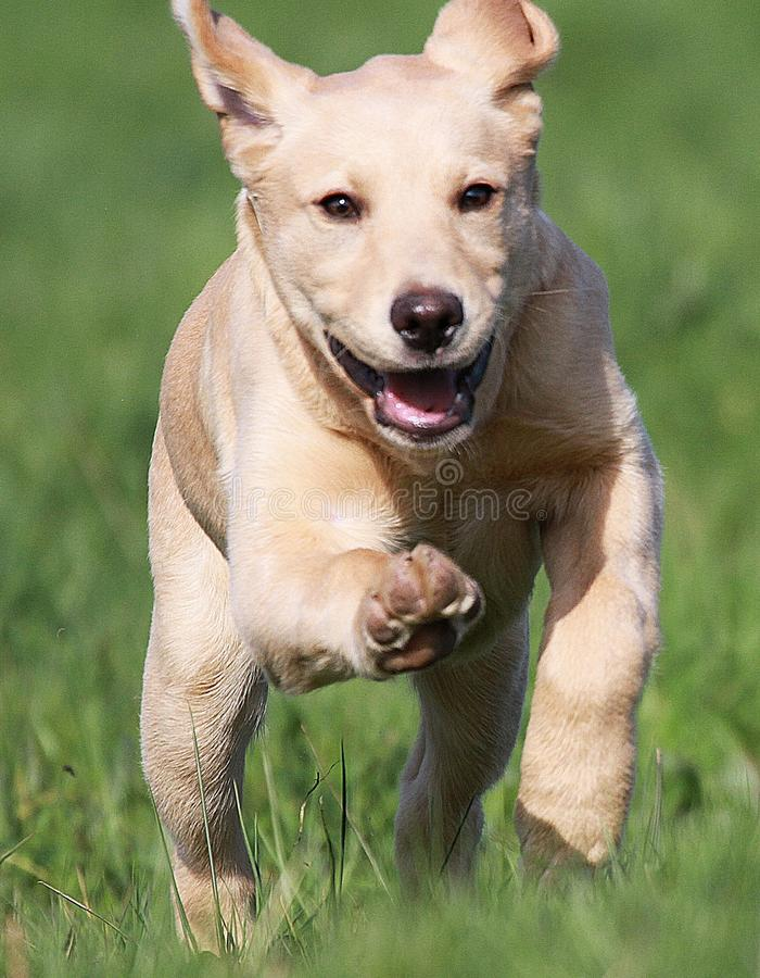 Chiot d'or de Labrador fonctionnant par le champ image libre de droits