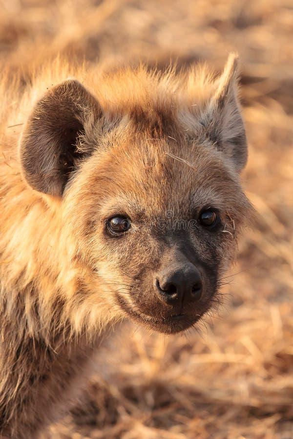 Chiot d'hyène image libre de droits