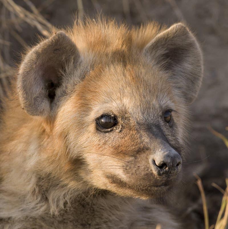 Chiot d'hyène photographie stock