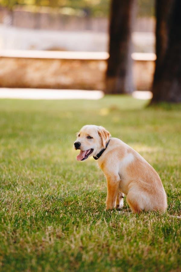 Chiot d'un blanc, labrador retriever pâle sur l'herbe verte en parc dans un collier noir images libres de droits
